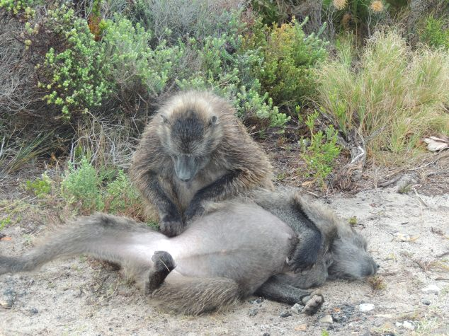 South African Baboons