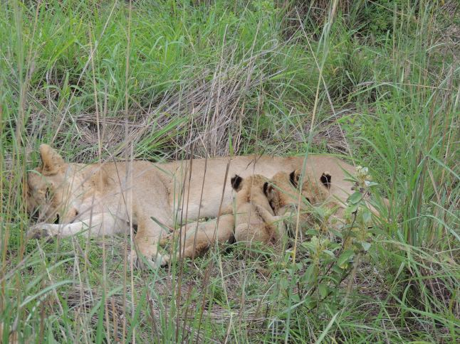 Lioness with her cubs in Kruger National Park