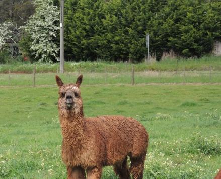 Shedfest Bromfield Winery llama