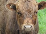 Shedfest Bromfield Winery cow