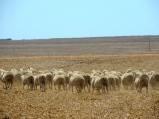 Lamb butts