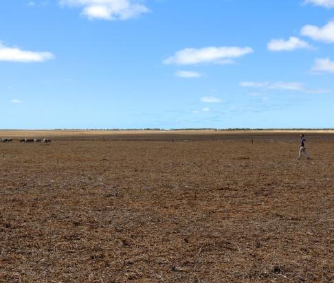 Wes herding lambs