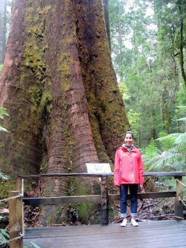 Big Tree in Otway Park