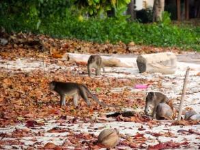 Wild Monkeys on Survivor Island
