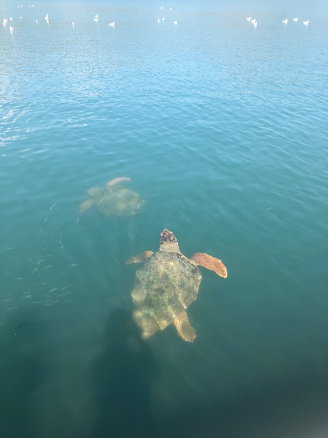 Sea turtles in Argostoli, Kefalonia
