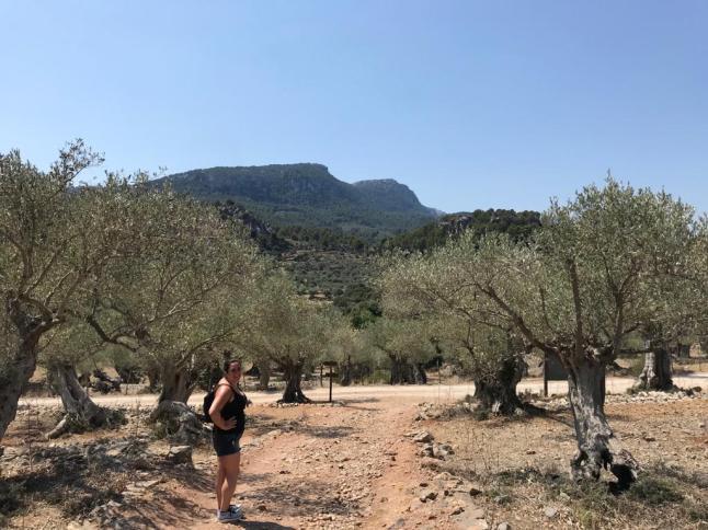 Olive groves in Majorca